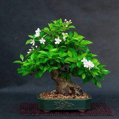 Bonsai, might be an apple tree