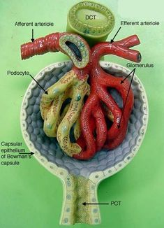 Teaching Biology, Science Biology, Medical Science, Renal Physiology, Human Anatomy And Physiology, Kidney Anatomy, Medical Anatomy, Body Anatomy Organs, Diálisis Peritoneal