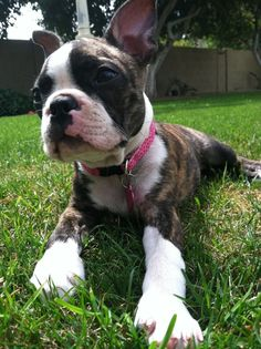 from Boston Terrier Arizona facebook page