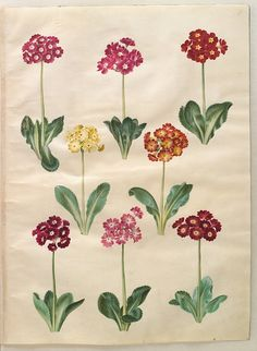 Gottorfer Codex, vol. 3, gouache on parchment by Hans Simon Holtzbecker, Primula auricula, KKSgb2949/11 - Statens Museum for Kunst, National Gallery of Denmark