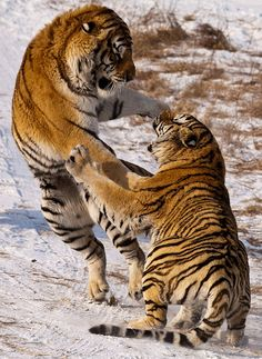 Tiger fight