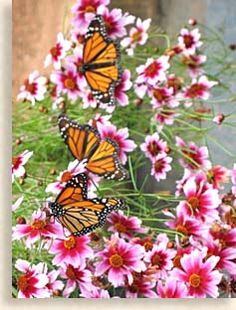 Butterfly Garden |Pinned from PinTo for iPad|