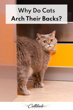 When cats are afraid, they'll often arch their backs as a way to make themselves look larger. Their tails will often puff up, too. But this isn't the only reason why cats arch their backs. Keep reading to find out other reasons why cats arch their backs—one of which is pretty darn cute!
