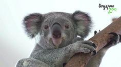 Koala Mania: A Furry Farewell Party