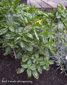 Bug-Eaten Basil Before and After Garlic-Mint Garden Insect Spray - An Oregon Cottage