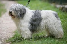 Remember Paul Anka on Gilmore Girls? This is a polish lowland sheepdog.