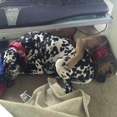 They snore in unison as well. #dogsofinstagram #dalmatian #boerboel #lazymondays