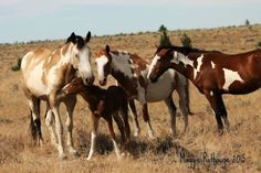 Sunshine with filly Siesta, Gypsy & Patch © South Steens Horse Charts