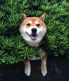 This Shiba Inu dog didn't seem too bothered when he got stuck in a bush 10ft up in the air in Japan. The canine wasn't fazed at all by his unfortunate predicament.
