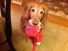 Stella's favorite toy! Golden retriever
