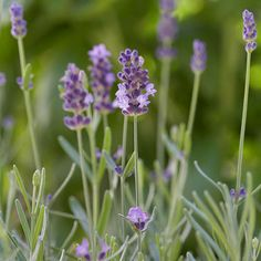 The flowers and foliage of lavender produce aromatic perfumes that permeate the air with sweet scents. Find more fragrant flowers for your garden here: http://www.bhg.com/gardening/design/styles/fragrant-plant-favorites/?socsrc=bhgpin031515lavendar&page=16
