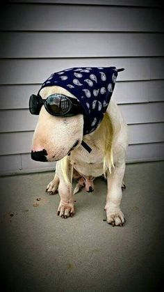 #Bull #Terrier cute image :)