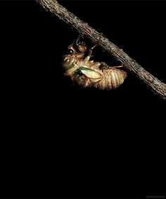 biomorphosis:  Cicada spends the first 17 years of their life cycle underground as a nymph and four to six weeks as an adult. They rise from...