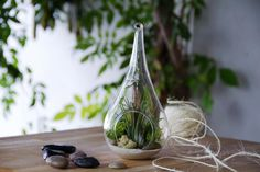 Este terrario de cristal tiene forma de lágrima. Está hecho a soplillo, por el método tradicional. Contiene una Planta de aire Ionantha, arena natural, piedras y musgo natural de dos colores, verde...