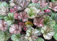 Heuchera (Coral Bells) 'Saturn' Leaf Flowers, All Flowers, Amazing Flowers, Colorful Flowers, Coral Bells Plant, Trees To Plant, Plant Leaves, Cottage Garden Plants, Heuchera