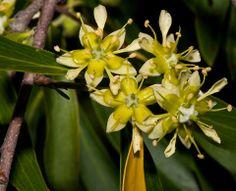 FloraAutoctona DelUruguay   Flores de Quillaja brasiliensis (ARBOL DEL JABON)