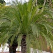 Macrozamia moorei (Moore's cycad)Click image to learn more, add to your lists and get care advice reminders each month.