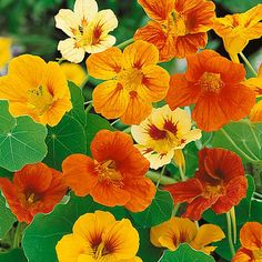 Nasturtiums Edible Annual that is great as a companion plant for veggie gardens - http://thegardeningcook.com/nasturtiums/