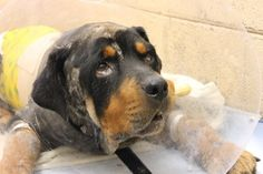 """Good Samaritan rescues ailing Rottweiler from roadside - August 31, an ailing Rottweiler, near death, was discovered by a good Samaritan along Georgia's Interstate 675. The dog, dubbed """"Tiberious,"""" was obviously injured with visible, gaping wounds, believed to be from burns, across much of his body."""