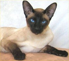 Siamese cats have beautiful eyes! - I want one!