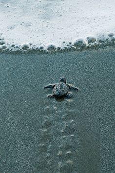 Baby sea turtle beginning it's life journey