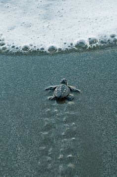 Baby sea turtle beginning it's life journey