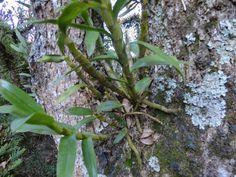orquidea comum tuberculo longo - Google Search
