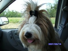 Tibetan Terrier with hair clip ~ Ha!