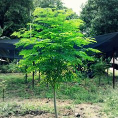 The Truth About Moringa Oleifera