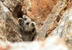 "Ili pikas, nicknamed ""magic rabbits,"" grow to be about 7 inches long, and they live at cool, high elevations on the craggy rock faces of mountains in China."