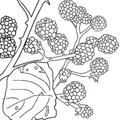 Le muguet l edelweis l iris et la fleur d oranger avec ses anecdotes dans une illustration - Coloriage fleur edelweiss ...