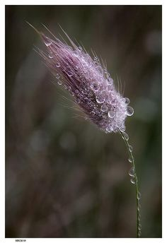 dew-laden grass head.  So fragile, and yet so strong!
