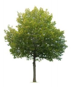 Slovakia's National Tree is the Linden Tree.