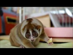 Slow Loris eating Banana. If I could have any animal it might have to be this little guy.