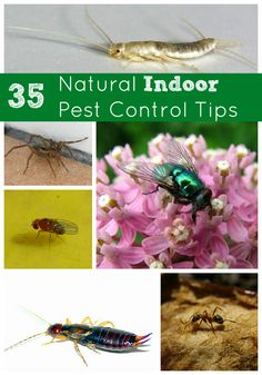 35 Natural Indoor Pest Control Tips--flies, silverfish, fruit flies, spiders and more!