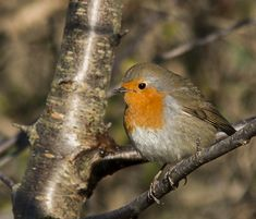 Robin Vogel, Robin Bird, Tier Fotos, Robins, Beautiful Birds, Bird Feeders, Feathers, Cute Animals, Outdoor