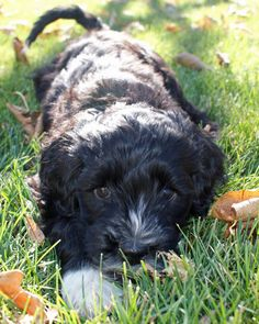 Here's Some Way Too Sweet Portuguese Water Dogs. Cavapoo Puppies, Dogs And Puppies, Doggies, Portuguese Water Dog Puppy, Creature Feature, Labradoodle, Working Dogs, Mans Best Friend, Animal Photography