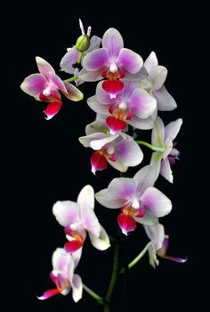 orchidée phalaenopsis 6