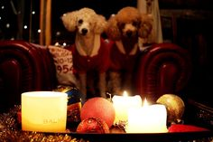 Tobbe the Poodle and his poodle brother Ressu spending Chritmas time in Finland Lapland ♥
