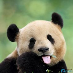 """The International Union for Conservation of Nature announced on Monday that giant pandas are no longer listed as an """"endangered"""" species. The giant pandas are not completely off the list, . Pandas Syndrome, Endangered Species, Panda Bear, Animal Kingdom, The Incredibles, Pets, Animals, Artificial Insemination, Seo Services"""