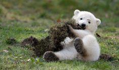 A polar bear cub, one of twins, plays in an enclosure at Hellabrunn zoo in Munich.