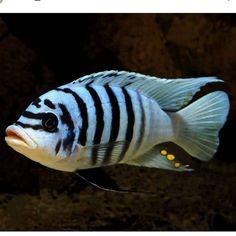 Aquarium Care for Freshwater Fish Cichlid Aquarium, Cichlid Fish, Malawi Cichlids, African Cichlids, Tropical Fish Aquarium, Freshwater Aquarium Fish, Lac Tanganyika, Saltwater Tank, Saltwater Aquarium