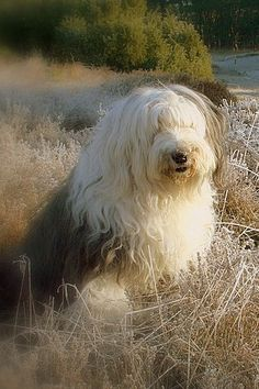Cassie Old English Sheepdog