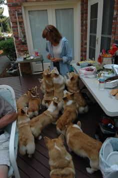 The pack moves in for the kill... Holy Corgi's!!! This would be me if I didn't have a husband to control my obsession!