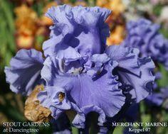 Iris MERCHANT MARINE | Stout Gardens at Dancingtree