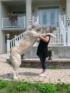 Kijiji: Irish Wolfhound