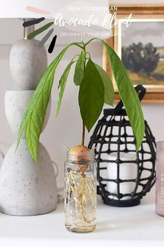 Learn the trick togrowing an Avocado Plant from seed that finally worked for me! And once you have asprouting plant, see the best care tips like their watering needs and light requirements. Let's grow big healthy Avocado Plants together! Delineate Your Dwelling Avocado Plant From Seed, Avocado Seed, All About Plants, All Plants, Indoor Plants, House Plants Decor, Plant Decor, Prayer Plant Care, Avocado Leaves