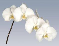 Phalaenopsis Taipei