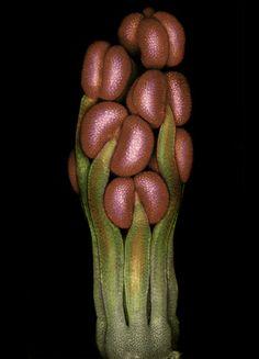 Dr. M.R. Dadpour  Department of Horticultural Sciences, University of Tabriz  Tabriz, Iran  Specimen: Flower primordium of Spartium sp  Technique: Epi-illumination