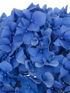 hortensie pimpernel blau hochzeitsblumen hortensien und dunkelblau. Black Bedroom Furniture Sets. Home Design Ideas